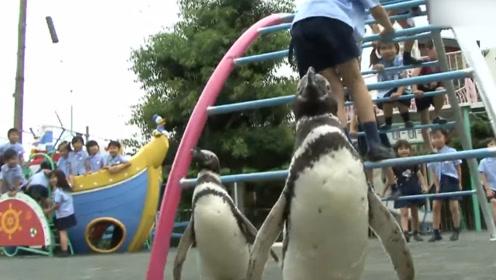 企鹅宝宝上幼儿园的一天,看书学习跳舞助兴,所有人都被萌到了