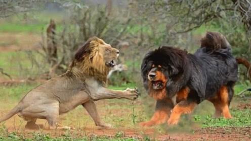 一獒战三虎,藏獒真的比老虎狮子强吗?真相真是不可思议