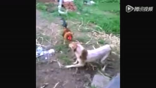 彪悍公鸡抢狗食 飞跳猛啄打跑汪星人