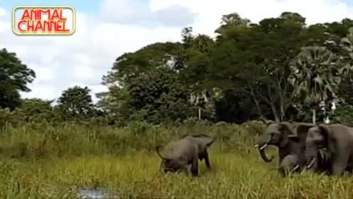 鳄鱼偷袭大象咬住大象鼻子,大象下一秒告诉谁才是真正的霸主