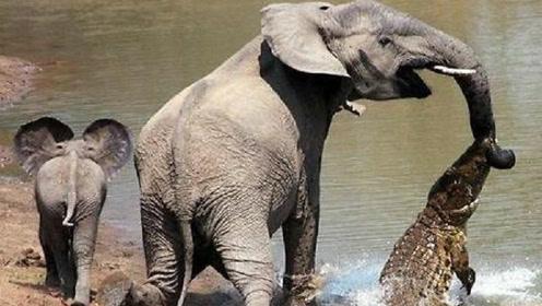 小象被鳄鱼咬住鼻子,母象发飙怒怼鳄鱼!
