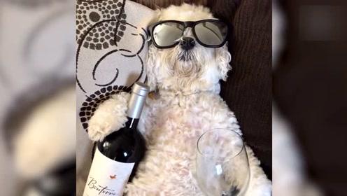 动物也爱酒 这小仓鼠看酒的表情太萌
