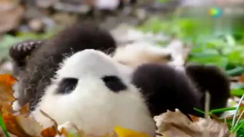 大熊猫哄孩子,画面萌翻了!