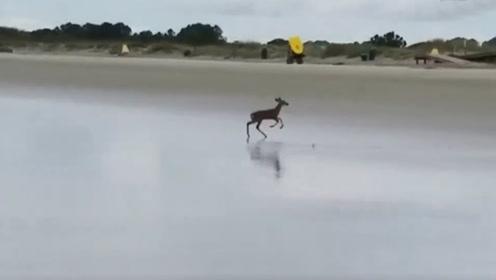 惊险一刻!海浪一波波袭来 小鹿惊吓奔逃