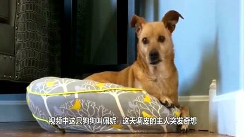 当主人在狗狗面前,倒地装死时,狗狗的反应真是太暖心了!