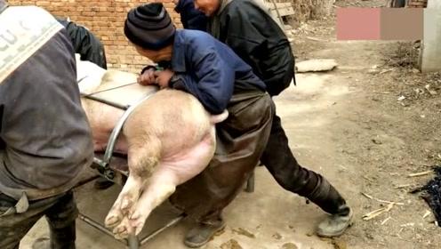 农村杀猪越来越省事,这样的杀猪方法你见过吗?大叔的技术真厉害