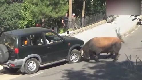 大街上一头牛发狂,看到马路上的车就撞,车主的心是无奈的!