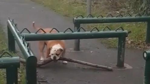 树一定有什么魔力,要不然狗狗怎么会老跟树枝过不去!