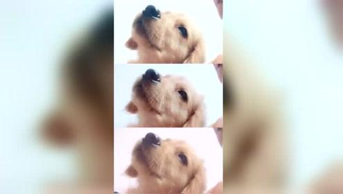 狗狗迷茫的眼神,面对镜头好害羞的样子,网友:想把它抱回家