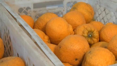 丑橘也是转基因?老果农透露出实情,不知道你的丑橘就白吃了