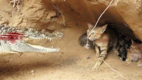 鳄鱼闯进猫窝,猫妈拼死反抗,下一秒的画面让人感动!
