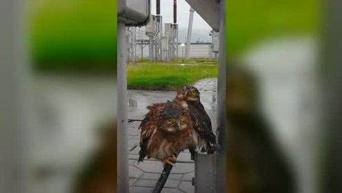 被大雨淋傻了 3只猫头鹰瞪眼卖萌求助