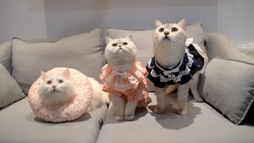 给全家猫咪穿女仆装,小母猫气到自闭,多少小鱼干也哄不好