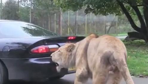 游客作死将头伸出车外,给狮子拍照,镜头记录惊险一刻