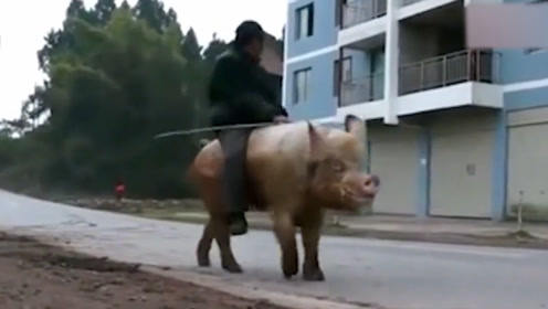 68岁老汉每天骑猪出行,一骑就是30年,甚至有人愿出高价买下