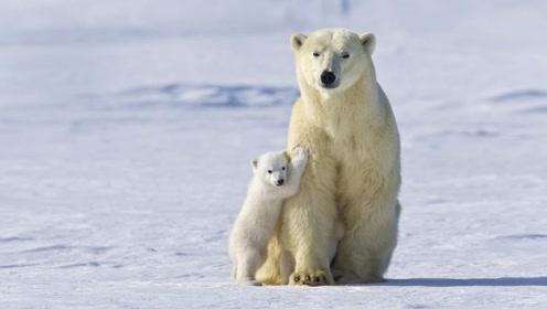 世界上唯一的北极熊监狱,每年11月熊比人多,有专门的熊警!