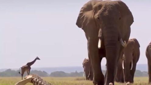 大象群在前进过程中偶遇一头老母象的骨头,接下来的画面很感人