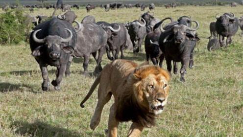 狮子偷袭小野牛不成,却被成群野牛攻击致死。狮子后悔死了