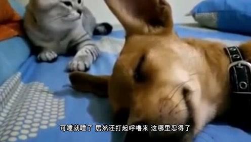 抢了床还打呼噜?猫咪对着狗头就是几巴掌,下一秒憋住不要笑