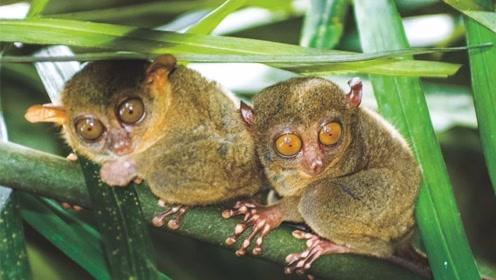 自带美瞳的眼镜猴 拳头大的身子 眼睛就占半张脸