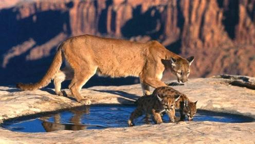 凶猛狮子被人类饲养与狗和睦相处,被当地政府评为人类之友