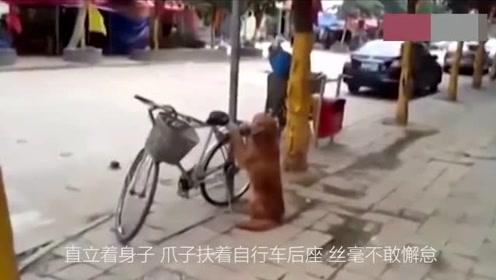 主人去银行让金毛帮忙看自行车 随后金毛的坐姿让人笑喷