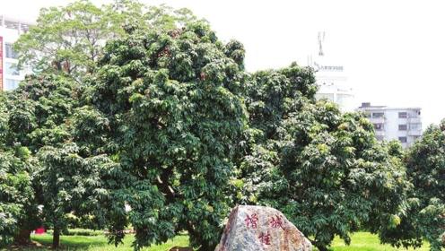 中国最贵的两棵树:一棵果实按粒卖 一棵投保一亿还不放心