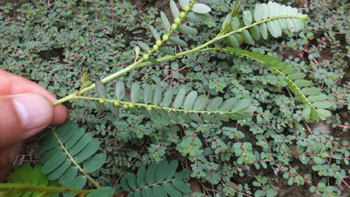 农村植物珍珠草,被农村当做野草拔掉,殊不知它的珍贵之处