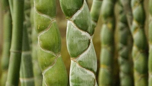 老人种下一棵竹子,意外发现越长越怪,专家一看乐坏了