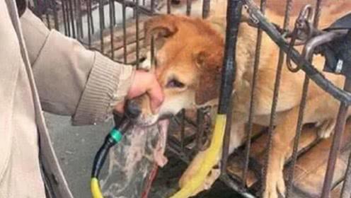屠宰场里面的狗,为什么都不敢逃跑?真相让人愤怒又心疼!