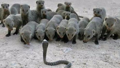 当一条眼镜蛇遇到一群蛇獴,会发生什么?3秒后憋住别笑