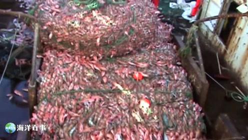 大型渔船一次捕鱼的收获量,震撼!