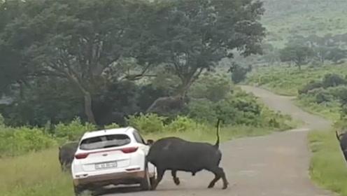 司机开车被野牛拦路,对视一眼后,意外发生了