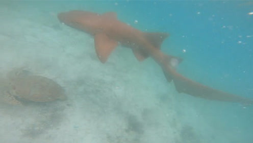 男子潜水遭鲨鱼追击 死里逃生影片曝光