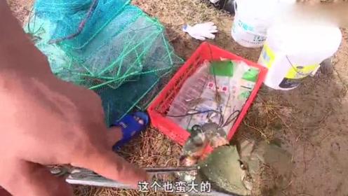 """赶海达到人生""""高潮"""",单只青蟹重2斤多,真的是厉害了!"""