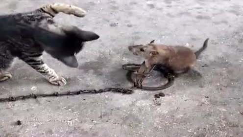 主人抓来老鼠,没想到竟成了猫咪的玩具,眼前一幕真逗!