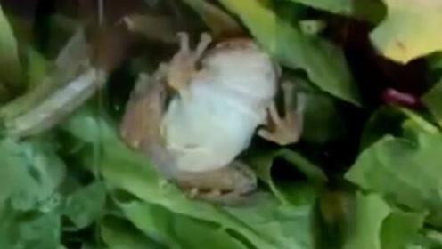 可怕!美国女子在盒装蔬菜沙拉中竟发现一只活青蛙
