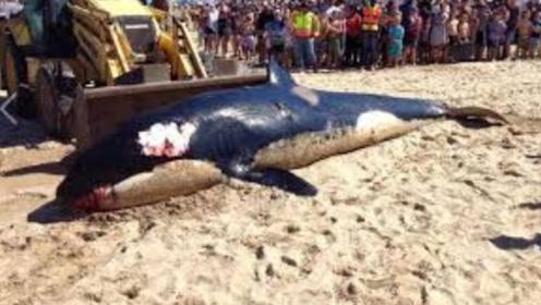 怀孕巨鲸搁浅,体内塞了44斤垃圾,真相令人心痛不已