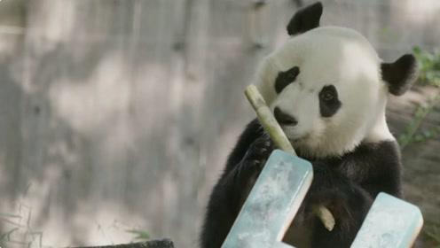旅美大熊猫贝贝庆祝4岁生日 将于近期返回中国