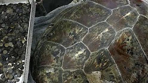 千年乌龟万年鳖 切开乌龟肚子竟然发现宝藏!