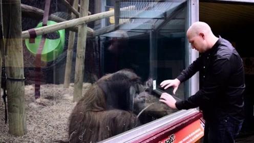 老外变魔术给猩猩看,将扑克贴玻璃上,结果神奇一幕发生