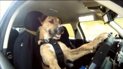 动物的智慧也不低,为了吃的展现惊人能力,狗狗甚至还会开车