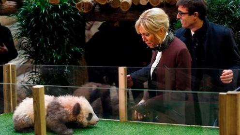 熊猫脾气有多大?竟连法国第一夫人都敢吓,网友:给蚩尤长脸了!