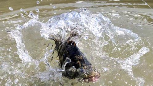 虎子赶海出新方法,防潮坑里放鱼饵,搞了条大石斑,够本了