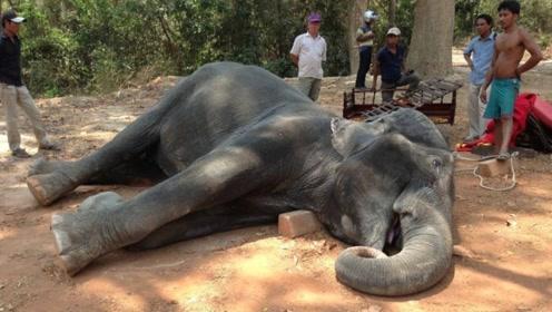 为啥大象死后一定不能碰?外国男子不听劝,结果悲剧了