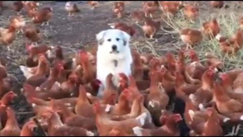 爱犬帮忙看守农场,主人回来后哭笑不得,最后多了一堆压寨夫人