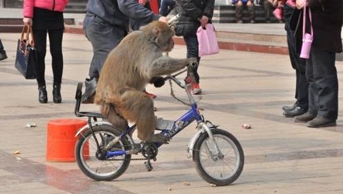 这只猴子太神奇,骑自行车、碰瓷装死样样在行,网友评价:成精了
