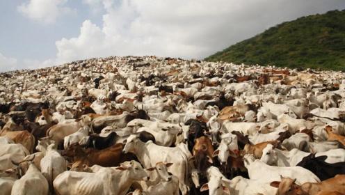 世界上最嚣张的动物,已经泛滥成灾了,但却没人敢动它一根毫毛