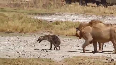 小鬣狗被狮子咬掉后肢,还不停忍痛前行,狮子却在后面紧紧跟随