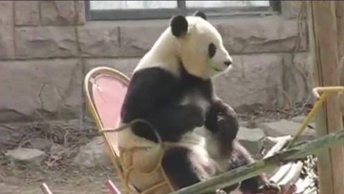 混迹黑白两道的熊猫大佬,过着人类的老年生活,这偷偷成精了吧